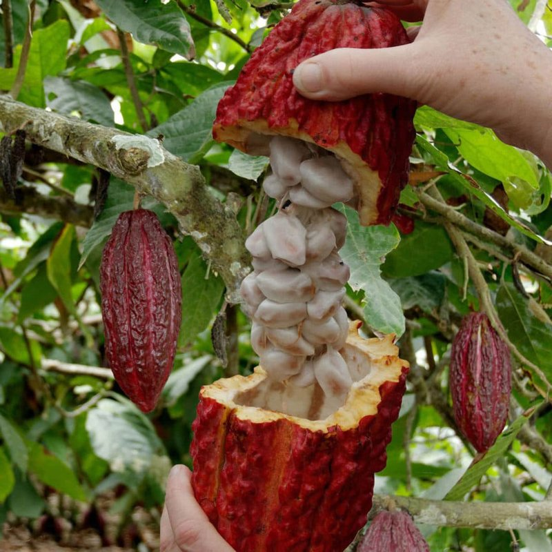 Rijp Cacaoboomfruit