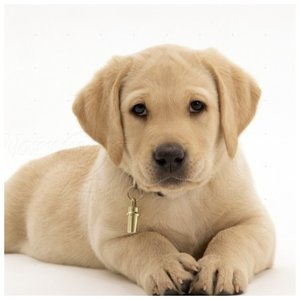 Labradoro šuniukas